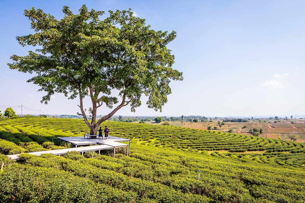 Choui Fong Tea Plantation, Mae Chan, Chiang Rai, Thailand