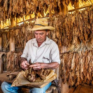 A tobacco farmer making a Cuban cigar in Vinales, Pinar del Rio Province, Cuba